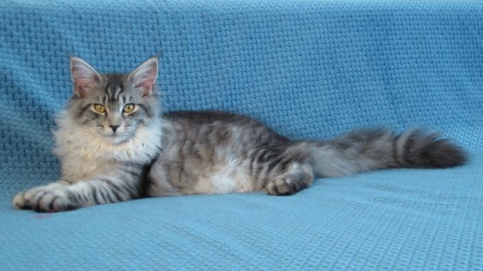 Maine Coon Katze Kijani